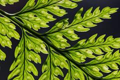 Fern against the light (hanspartes) Tags: blumen farn plant green grün makro