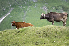 Swiss cows (Jesper Lund Hansen) Tags: alps cows cow tmb2014