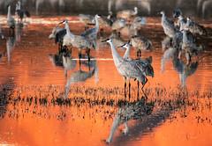 Orange Water at Bosque (girltwin) Tags: cranes newmexico bosque orange sunset sandhillcranes nikon d500