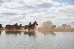 DSC_5784 (mylesm00re) Tags: africa burchellszebra equusquaggaburchellii limpopo welgevondengamereserve za mhondorogamelodge sebra southafrica waterhole