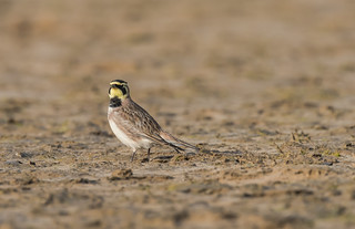 Shorelark Holkham Gap 18-02-2017-2047
