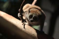 Plompe lori in Dierenpark Amersfoort (robreintjes) Tags: dieren dierenparkamersfoort zoogdieren apen panoramio54853433076944 dierenparkamersfoort521515245347900 googleplacecmrraaaamzryuelj0fzti36orm9r5mz9zoukrm1i9kj02h4t04ww googleplacecmrraaaamzryuelj0fzti36orm9r5mz9zoukrm1i9kj02h4t04wwdbgsabnadml0ea8f8edcalbniqhmbsmh8r0vowthpr3ot1jvrwghioasqwcmyko5faxpaizkpsbmwbb31z6ehcpnktvkhjw6yldcs6cb4tbghqdgxybzelzlkjyrhyaxnr2wu09a