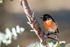 Miro boodang (Philippe Lécuyer) Tags: australieoccidentale wa canon7dmarkii bird20iocreplaceoldbirdlist nature oiseau avifauna wildlife bird scarletrobin australia petroicaboodang petroicidae