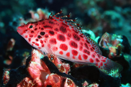 Cirrhitichthys_oxycephalus_IMG_4476_Galapagos_GA-2017-07-09_Floreana