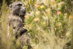 Cape baboon (on_safari) Tags: reise sommer südafrika urlaub capebaboon bärenpavian tschakma chacmababoon baboon pavian dehoop naturereserve naturreservat travel vacationsummer southafrica