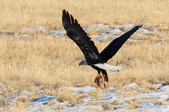 The older Bald Eagle grabs the meal and suddenly departs