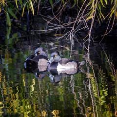 Floaters (Portraying Life) Tags: unitedstates tucson arizona ducks handheld nativelighting wetland sweetwaterwetlands