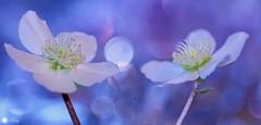 Happy thoughts (Trayc99) Tags: flowers floralart floral macro beautyinnature beautyinmacro beautiful bokeh white happy petals closeup hellebore