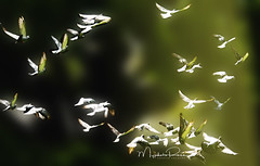 some where (Myphotorose-on and off.. :)) Tags: canoneos7dmarkii ef70300mmf456isusm birds
