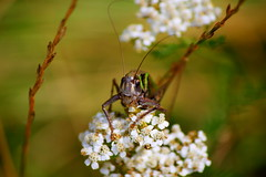 цвіркун (zool18) Tags: green garden good gardens ligth bugs beauty botanic canon color nature animal insect flickr flower foto flora forest life picture summer sweet eos ukraine macro mark2 amazing home awesome outdoor bokeh