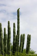 "Perched Iguana (Aruba) (runintherain) Tags: runintherain canon450dxsi canon canonxsi caribbean lesserantilles flora trees nature outdoor wild animals reptiles aruba ""netherlands"" abcislands dutchcaribbean lizards"