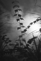 Leaves (Yuta Ohashi LTX) Tags: lights shadows 光 影 silhouette シルエット 逆光 植物園 botanical garden greenhouse 白黒 モノクロ black white monochrome bw