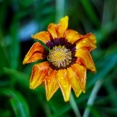 wet Gazania (ΞSSΞ®®Ξ) Tags: ξssξ®®ξ pentax k5 2015 green garden lazio italy colors gazania perspective flower blooming depthoffield plant squreformat smcpentaxm50mmf17 bokeh outdoor spring yellow orange rain droplets