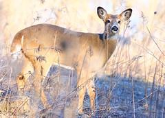 white-tailed deer buck at Lake Meyer Park IA 854A7553 (lreis_naturalist) Tags: whitetailed deer button buck lake meyer park winneshiek county iowa larry reis