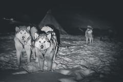 getting ready (Steven-ch) Tags: polarnight svalbard winter frigg husky canon snow norway polardogs dogsledding qunniq igniq uminmak artic spitsbergen tuttu nipituruq eos5dmarkiv expedition alaskanhusky europe travel longyearbyen svalbardandjanmayen sj