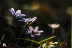 FILIGRANA (Lace1952) Tags: primavera fiori selvaticifiori sottobosco colori controluce filigrana nikond7100 nikkor18300vr