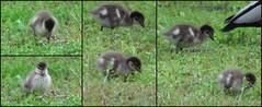 Australian Wood Duck Ducklings - 2015.08.16 (Brissy Girl - Jan Anderson) Tags: duck ducklings australia woodduck australianwoodduck familyanatidae seqld henonettajubata