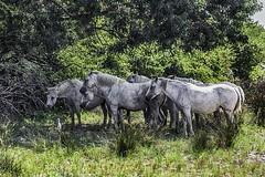 IMG_0327_HDR (gianni.giacometti) Tags: italia natura della venezia cavalli cavallo grado giulia isonzo friuli isola monfalcone oasi foci cona foce naturalistica