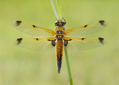 Four-spotted Chaser Libellula quadrimaculata praenubila (Iain Leach) Tags: macro nature beautiful beauty closeup canon insect photography image dragonfly wildlife photograph macrophotography odonata pondlife anisoptera birdphotography beautyinnature wildlifephotography canoncameras canon5dmk3 fourspottedchaserlibellulaquadrimaculata canon1dx wwwiainleachphotographycom iainhleach fpraenubila