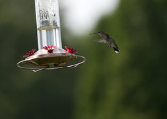 "Hummingbird 2 • <a style=""font-size:0.8em;"" href=""http://www.flickr.com/photos/30765416@N06/21042521788/"" target=""_blank"">View on Flickr</a>"