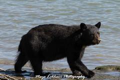 Taking a walk on the beach (Maja's Photography) Tags: bear black beach nature animals walking interestingness shiny blackbear top500 explore05sep15