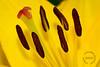 Yellow Lily Stigma and Stamens by Kaye Menner (Kaye Menner) Tags: red macro green yellow closeup photography petals colorful lily style stamens petal stamen lilium stigma filaments asianlily yellowlily redyellow liliaceae yellowred floralart asiaticlily elanorroosevelt yellowpetals lilymacro familyliliaceae genuslilium tepal lilyart macroart yellowasiaticlily redstigma colorfullily kayemennerphotography kayemennerfloral kayemenner stigmaandstamens redbrownstamens elanorrooseveltlily