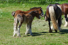 Horses and foals on the field (EilaK: Visit my nice galleries too!) Tags: summer horse together foal
