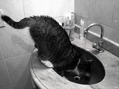 Feline no lavatorio (Foto: Rosana) (Valter Frana) Tags: gua feline gata