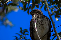 Keeping an Eye Out (Vimlossus) Tags: hawk