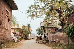 . (DEARTH !) Tags: street travel india man cow dirtroad punjab dearth in hoshiarpur