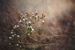 Don't go away (Tammy Schild) Tags: flowers autumn blur fall nature field closeup season bokeh daisy