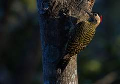 Pica-pau-verde-barrado / Green-barred Woodpecker ( Colaptes melanochloros ) (Wagner Machado Carlos Lemes) Tags: brazil bird brasil woodpecker natureza birdwatching goinia gois birdwatcher colaptes ornitology ornitologia sigma50500mm greenbarredwoodpecker colaptesmelanochloros picapauverdebarrado melanochloros naturewatcher canon7d birdwatchergoias