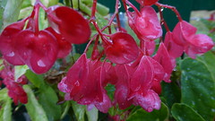 μπιγονια Ελλαδα P1150800 (omirou56) Tags: 169 ελλαδα λουλουδια φυση φθινοπωρο φυλλα panasoniclumixdmctz40 μπιγονια