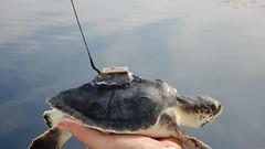Kemp's ridley (MyFWC Research) Tags: sea research turtles hawksbill loggerhead greenturtle kempsridley