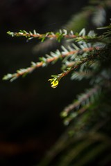 Golden Droplet (TtownStudios) Tags: macro water pine golden matthew drop hour droplet epic ttown