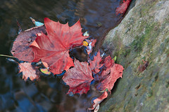 Afloat (kwtracyghostship) Tags: autumn red fall leaves rock canon eos moss interestingness maple stream floating 50d kwtracyghostship