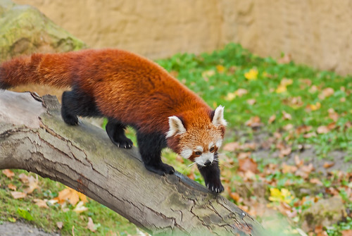 20151108_06 - roter Panda
