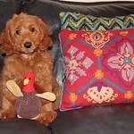 Mandi's past F1b toy puppies !
