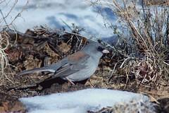 Dark-eyed Junco (Gray-headed) (Christopher Lindsey) Tags: winter snow newmexico birds birding nationalmonument elmorro darkeyedjunco grayheaded elmorronm cibolacounty