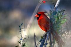 One more Cardinal (rlbarn) Tags: red bird cardinal