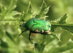 Protaetia hungarica (Marcell Krpti) Tags: hungary beetle magyarorszg coleoptera mtra scarabaeidae cetoniinae muzsla flowerchafer rzsabogr protaetiahungarica magyarvirgbogr
