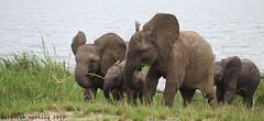 Young Elephants (meredith_nutting) Tags: africa elephant rwanda herd africanelephants ellies eastafrica easternafrica breedingherd