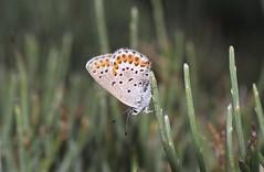1998_14_08_edited-1 (Clive Webber) Tags: lycaenidae plebejusargus silverstuddedblue mtaigoual polyommatinaeblue