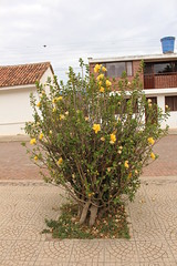 "Árbol de Hibiscus (Cayena) • <a style=""font-size:0.8em;"" href=""http://www.flickr.com/photos/78328875@N05/23687962251/"" target=""_blank"">View on Flickr</a>"