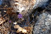 Sierra lessingia (debreczeniemoke) Tags: usa unitedstates amerikaiegyesültállamok california westcoastoftheunitedstates yosemitenemzetipark yosemitenationalpark sierranevadahegyvonulatnyugatilejtője acrossthewesternslopesofthesierranevadamountainrange nemzetipark nationalpark cooksmeadowloop növény plant virág flower sierralessingia lessingialeptoclada őszirózsafélék fészkesek asteraceae olympusem5