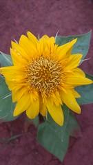IMG_20161215_192151604 (Rodrigo Ribeiro) Tags: flor flower garden gardening jardim jardinagem nature natureza flores