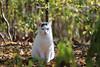 Odd-eyed Morningside Park cat (@harryshuldman) Tags: morningside park cat canon rebel t3i dslr 100mm macro green blue eye tabby tabbie neko kat nyc manhattan