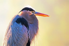 Backlight Great Blue Heron (dianne_stankiewicz) Tags: naturethroughthelens coth5