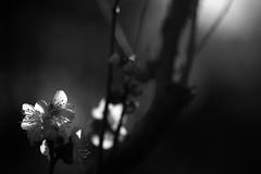 new plam blossoms (N.sino) Tags: sd15 70mmmacro sigma foveon plam plamblossom 梅 梅の花 神代植物公園
