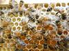 Capped and unripe uncapped honey (closeup macro) (nicephotog) Tags: european honeybee bee apis mellifera comb brood hive beehive capped unripe uncapped honey closeup macro